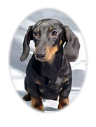 Dachshund Art Digital Art - Dachshund 614 by Larry Matthews