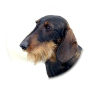 Dachshund Art Digital Art - Dachshund 847 by Larry Matthews