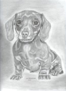 Puppies Drawings Framed Prints - Dachshund Framed Print by Don  Gallacher