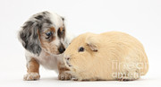 Dachshund Puppy Framed Prints - Dachshund Pup Yellow Guinea Pig Framed Print by Mark Taylor