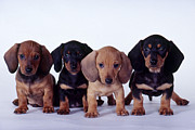 Smoothcoated Posters - Dachshund Puppies  Poster by Carolyn McKeone and Photo Researchers