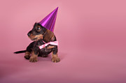 Party Hat Framed Prints - Dachshund Puppy Wearing A Party Hat Framed Print by Brand New Images