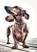 Nervous Framed Prints - Dachshund Framed Print by Stylianos Kleanthous