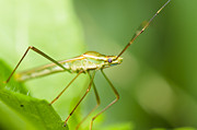Harvestmen Posters - Daddy-long-legs  Poster by Peerasith Chaisanit