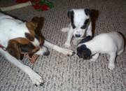 Black And White Jack Russell Terrier Puppies Photos - Daddy Said No by Linda Parker