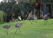 Sandhill Cranes Prints - Dads Showing Off Print by Carol Groenen