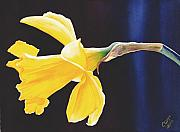 Daffodil Painting Framed Prints - Daffodil Framed Print by Catherine G McElroy