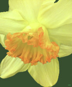 Deep Color Flower Framed Prints - Daffodil Down Framed Print by Debra     Vatalaro