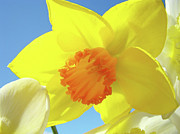 Floral Photographs Photo Metal Prints - Daffodil Flowers Artwork 18 Spring Daffodils Art Prints Floral Artwork Metal Print by Baslee Troutman Art Prints Giclee
