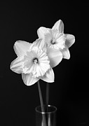 White Florals Prints - Daffodil Flowers Black and White Print by Jennie Marie Schell