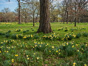 Green Photo Originals - Daffodil Glade Number 2 by Steve Gadomski