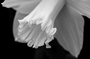 Daffodil Print by Lisa  Phillips