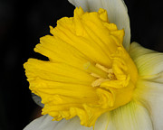 White On Black Posters - Daffodil on black Poster by Paul Ward