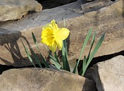Devon Stewart Art - Daffodil On The Rocks by Devon Stewart