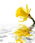 Background Photo Posters - Daffodil reflected Poster by Jane Rix