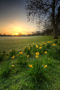 Derbyshire Posters - Daffodils And Sunrise At The Park Poster by Yhun Suarez