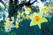 Yellow Prints Prints - Daffodils and the Oak 2 Print by Kathy Yates
