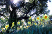 Daffodils Posters - Daffodils and the Oak Poster by Kathy Yates