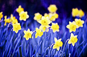 Colourful Flower Prints - Daffodils flowers Print by Elena Elisseeva