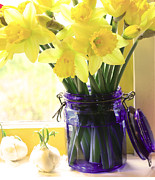 Blue Jar Posters - Daffodils in blue glass Poster by Margaret Hood