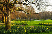 Great Britain Photos - Daffodils in St. Jamess Park by Elena Elisseeva