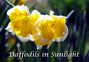 Daffodils Originals - Daffodils in Sunlight by John Lautermilch