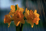 Rain Digital Art Metal Prints - Daffodils In The Rain Metal Print by Terril Heilman