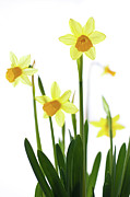 Spring Beauty Posters - Daffodils (narcissus Sp.) Against White Background Poster by Ingmar Wesemann
