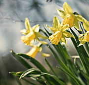 Montreal Photos - Daffodils by Olga Tremblay