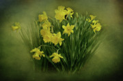 Indiana Flowers Digital Art Framed Prints - Daffodils Framed Print by Sandy Keeton