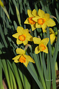 Jonquils Photos - Daffodils Up Close by Suzanne Gaff