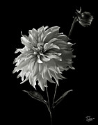 Flower Photos Framed Prints - Dahlia and Bud in Black and White Framed Print by Endre Balogh