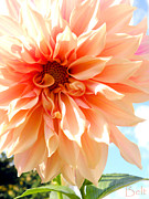 Peach Prints - Dahlia Before the Frost Print by Christine Belt