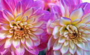 Pink Photos Prints - Dahlia Cousins Print by Kathy Yates