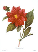 1833 Prints - Dahlia (dahlia Pinnata) Print by Granger