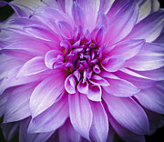 Flower Photograph Posters - Dahlia Dahling Poster by Christi Kraft