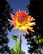Silhouettes Metal Prints - Dahlia Delight Metal Print by Will Borden