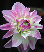 Extreme Floral Images - Dahlia Early Bloom by Kathy Dahmen