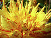 Yellow Dahlia Posters - DAHLIA Flower Art Collection Giclee Prints Baslee Troutman Poster by Baslee Troutman Fine Art Prints Collections
