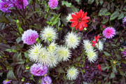 Murals Originals - Dahlia Garden 3 by Lawrence Christopher