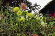 Garden Flowers Photo Originals - Dahlia Garden 5 by Lawrence Christopher