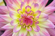 Gypsy Prints - Dahlia gypsy Flower Print by Colin Varndell