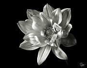 Flower Photos Posters - Dahlia in Black and White Poster by Endre Balogh