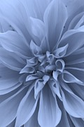 Illinois Flowers Posters - Dahlia in Blue Poster by Bruce Bley