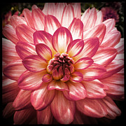 Flowerporn Posters - Dahlia in Pink Poster by Christy K Heffernan