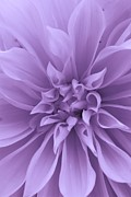 Illinois Flowers Posters - Dahlia in Purple Poster by Bruce Bley