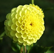 Dahlia In Yellow Print by Cathie Tyler