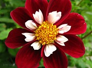Red Wine Prints Prints - Dahlia named Mary Eveline Print by J McCombie