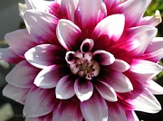 Red Wine Prints Prints - Dahlia named Mystery Day Print by J McCombie
