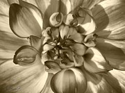 Jem Fine Arts Prints - Dahlia named Who Dun It Print by J McCombie